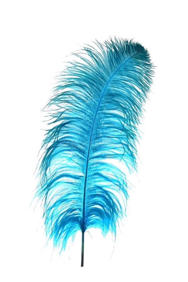 Piuma blu dello struzzo immagine stock