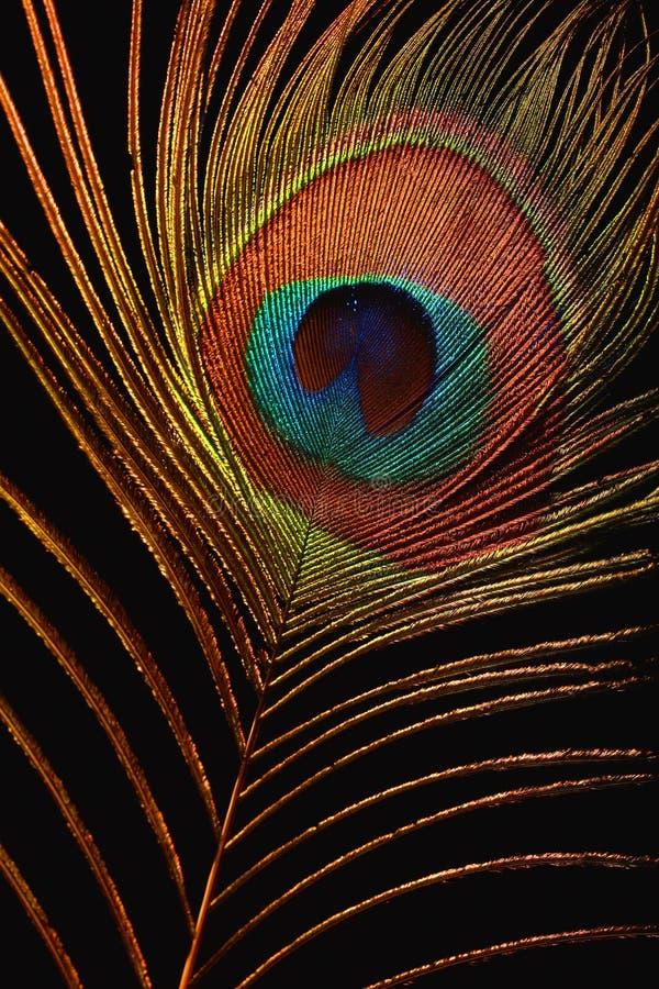 Piuma del firebird fotografia stock libera da diritti