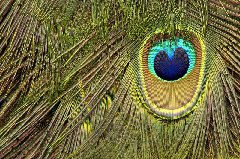 Download Piuma del pavone immagine stock. Immagine di closeup, singolo - 205299