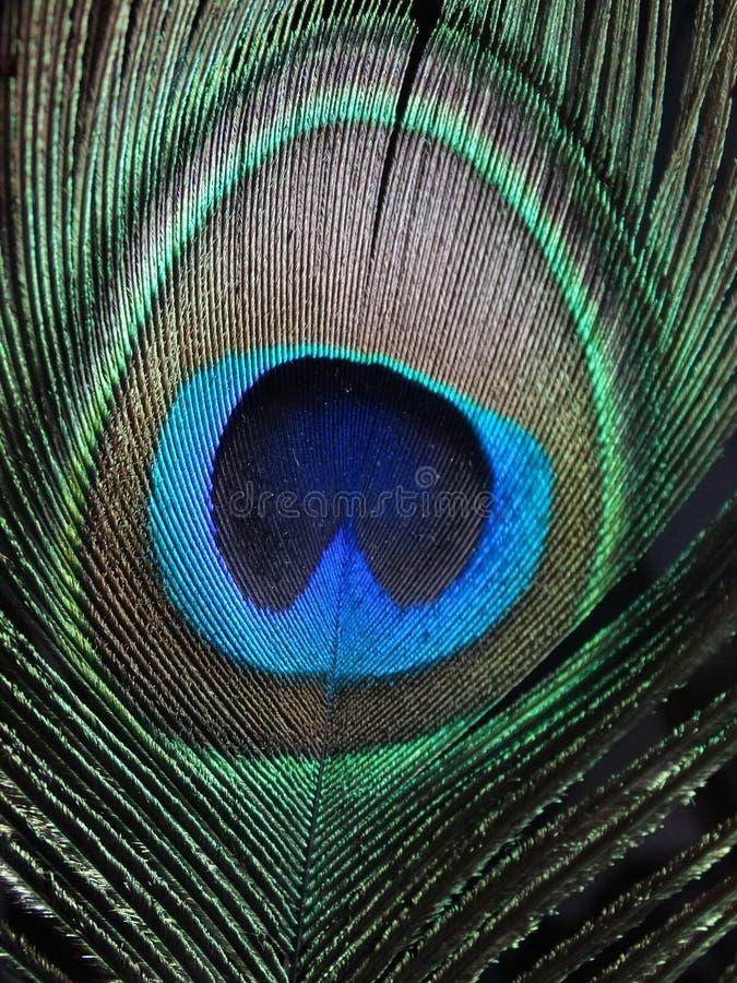 Piuma del pavone immagine stock