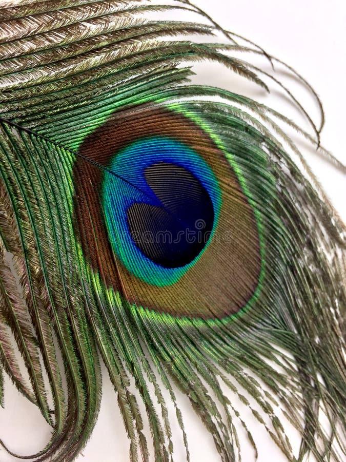 Piuma del pavone isolata su un fondo bianco fotografie stock libere da diritti