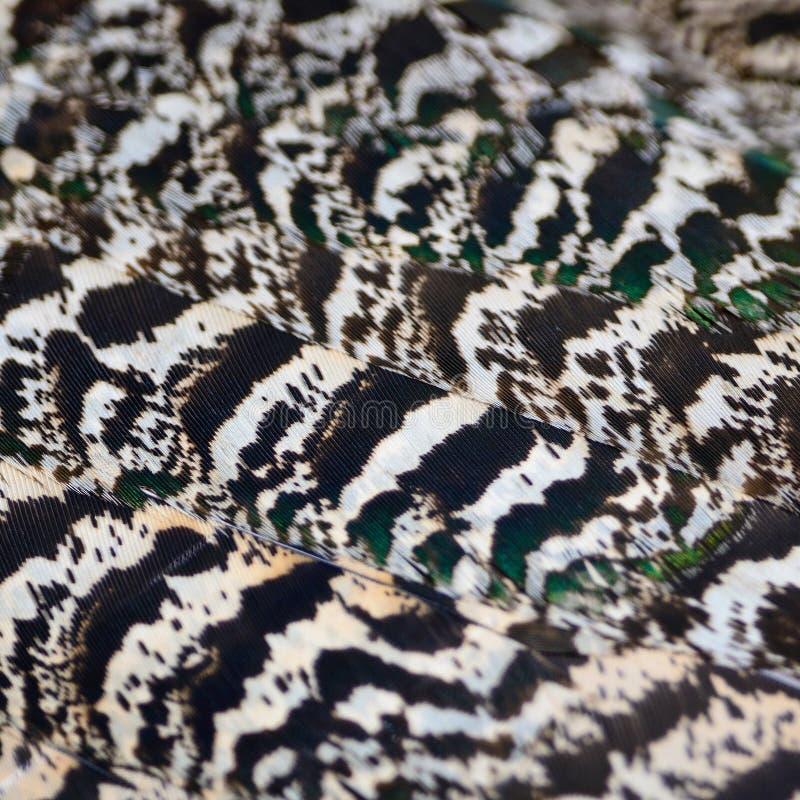 Piuma del pavone verde fotografia stock libera da diritti