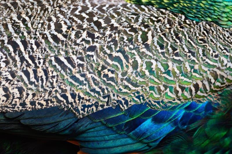 Piuma del pavone verde immagine stock libera da diritti