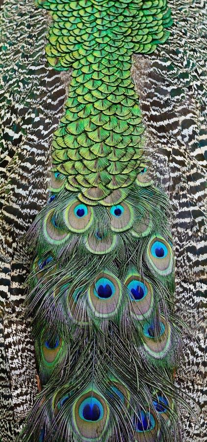 Piuma del pavone verde immagini stock libere da diritti