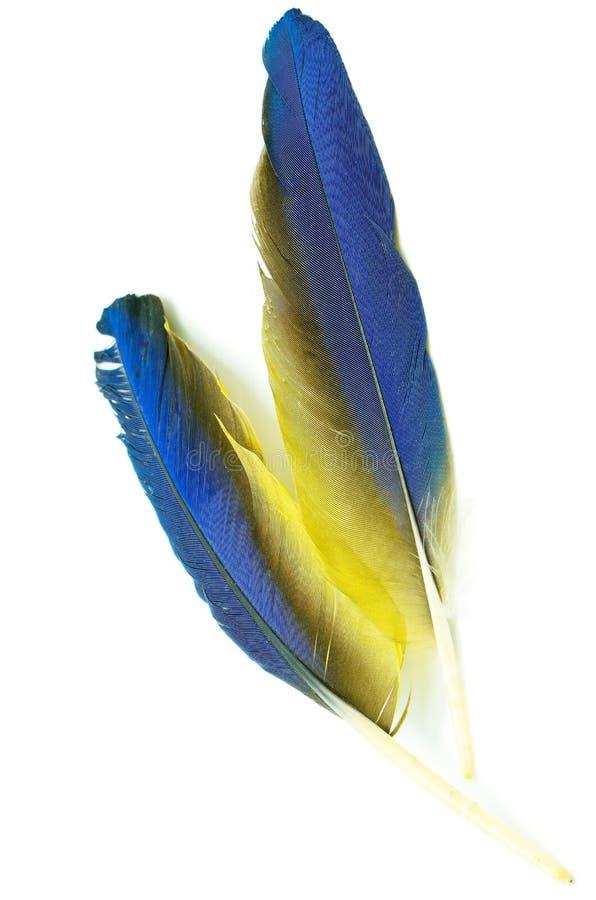 Piuma dell'ara dell'oro e del blu fotografie stock libere da diritti
