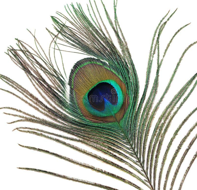 Piuma di coda di un pavone maschio fotografia stock libera da diritti