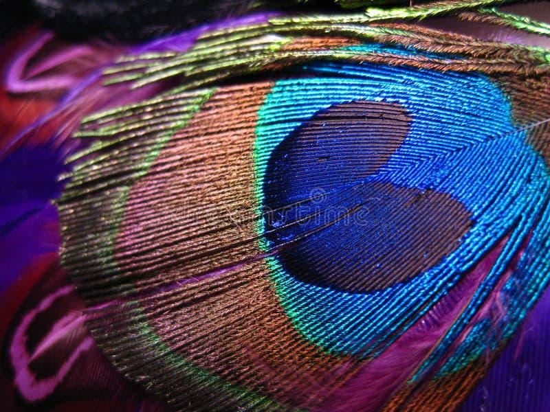 Piuma vibrante del pavone immagine stock