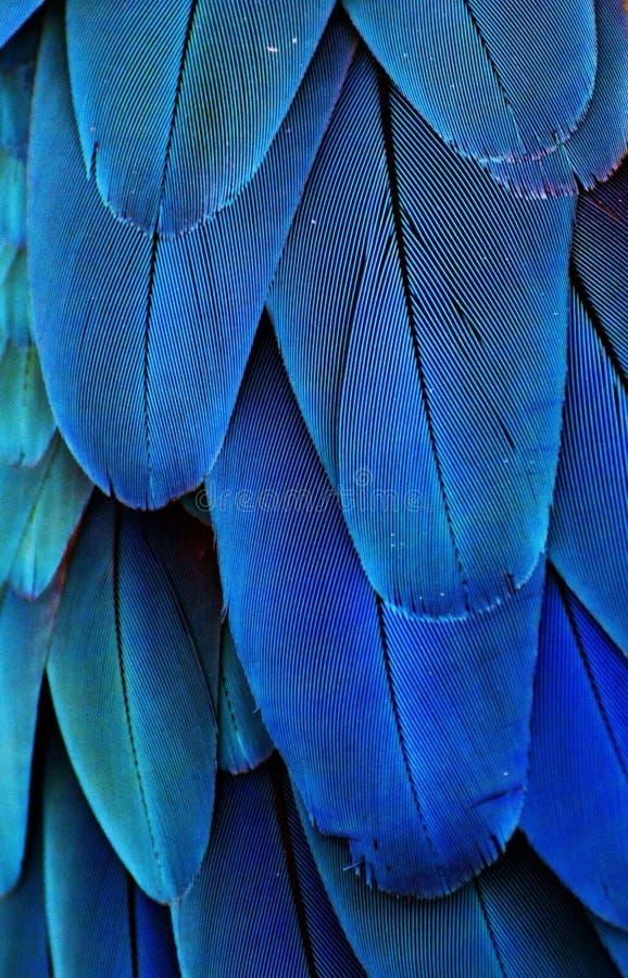 Piume blu dell'ara fotografia stock