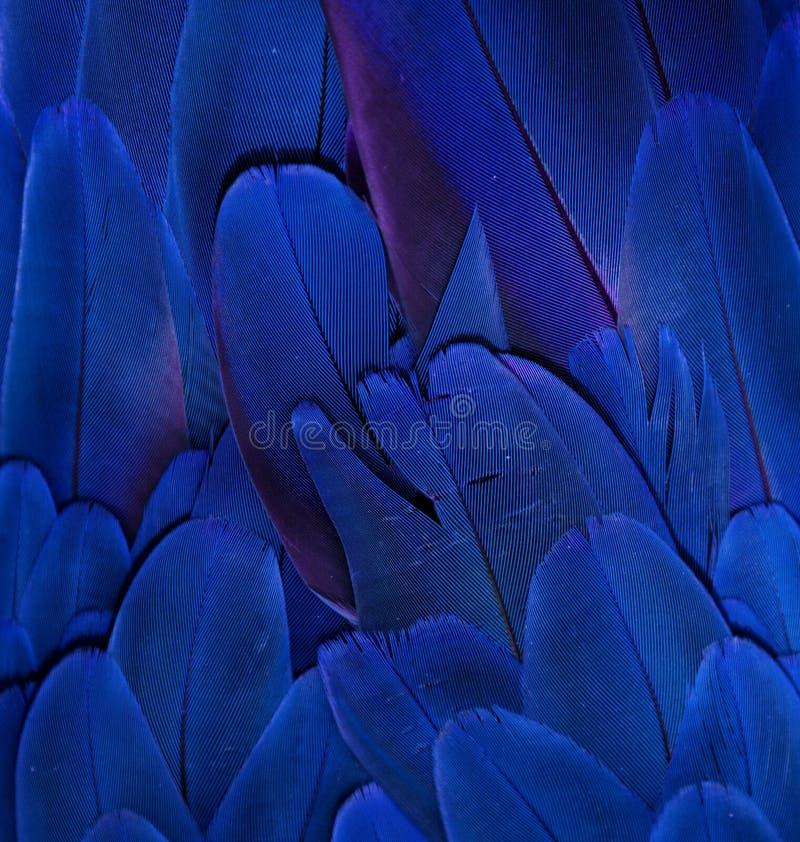 Piume blu dell'ara immagini stock
