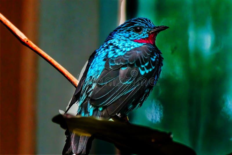 Piume blu rosse Spangled di Cotinga fotografia stock