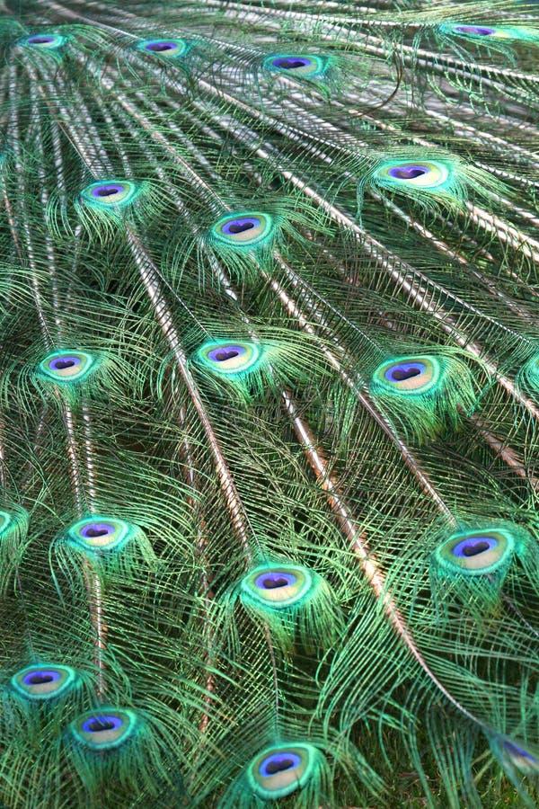 Piume del pavone immagine stock