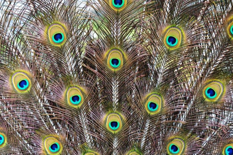 Piume del pavone immagini stock libere da diritti