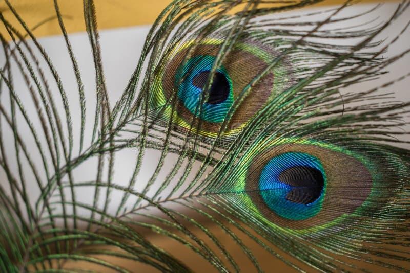 Piume del pavone che fissano alla destra fotografia stock