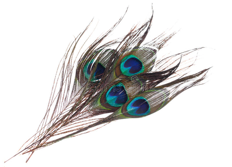 Piume del pavone su fondo bianco fotografia stock libera da diritti