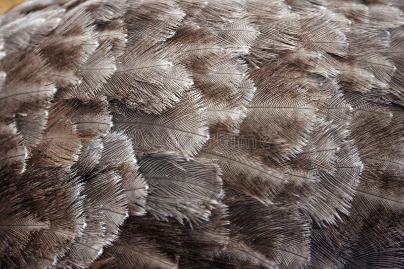 Piume dello struzzo fotografia stock
