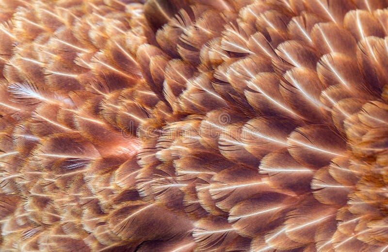 Piume di Brown della gallina immagini stock
