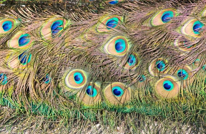 Piume di coda del pavone maschio fotografia stock libera da diritti