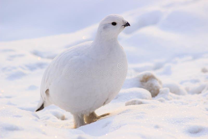 Piume di inverno della pernice bianca in Russia immagini stock libere da diritti