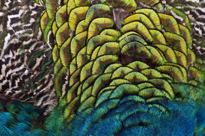 Piume di un uccello (pavone) fotografia stock libera da diritti