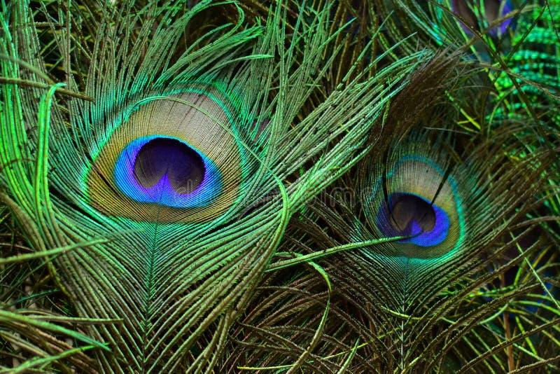 Piume variopinte ed artistiche del pavone Ciò è una macro foto di una disposizione delle piume luminose del pavone fotografia stock libera da diritti