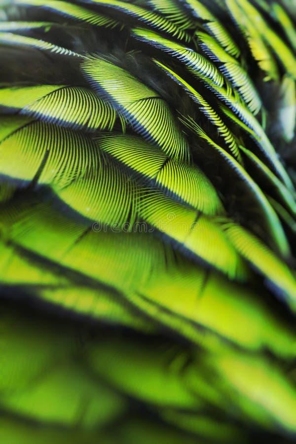 Piume verdi dell'uccello, piume dell'ara dell'arlecchino, fondo di struttura della natura Fuoco selettivo fotografie stock libere da diritti
