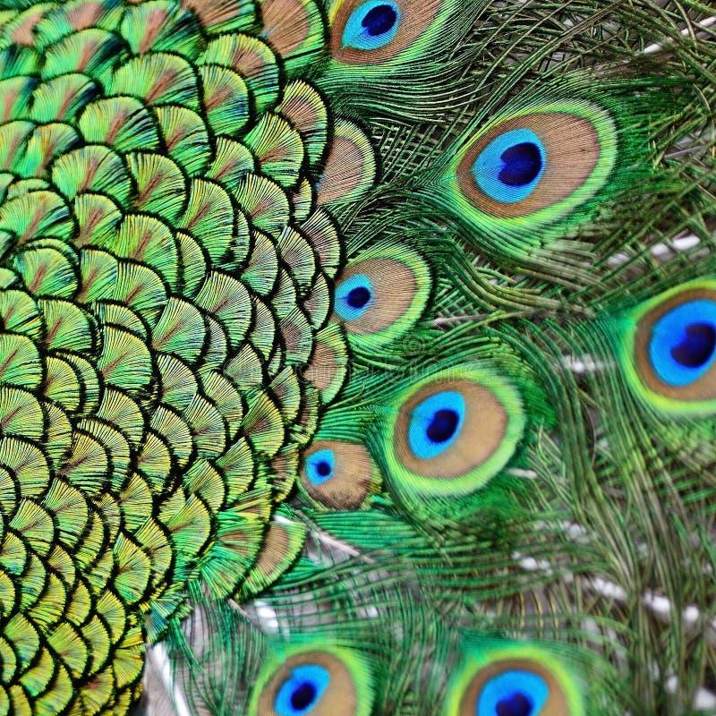 Piume verdi maschii del pavone immagine stock libera da diritti