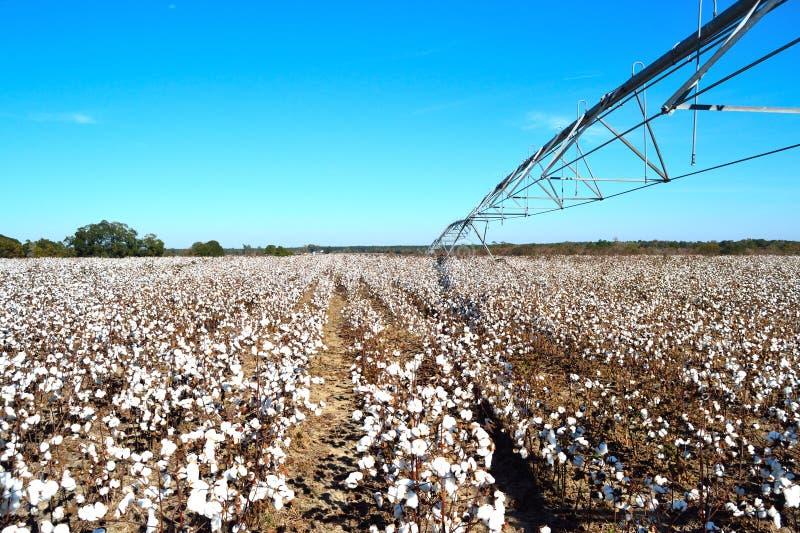 Pivô sobre o campo do algodão pronto para a colheita imagens de stock