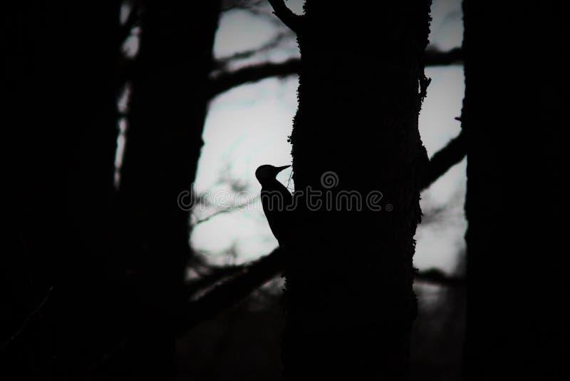 pivert photo stock