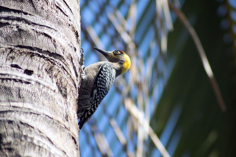 Pivert dans un palmtree image libre de droits