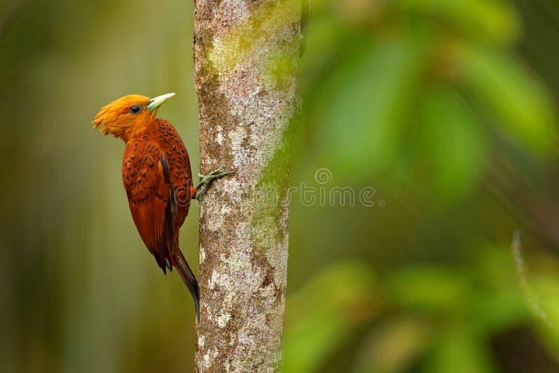 pivert de couleur châtaigne, castaneus de Celeus, oiseau de pâté de cochon avec le visage rouge de Costa Rica Pivert avec la crêt photos libres de droits