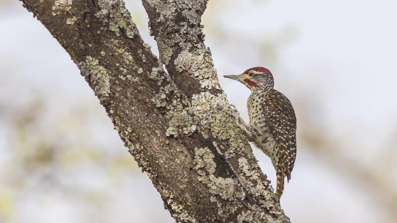 Pivert de Nubian picotant le tronc d'arbre image stock