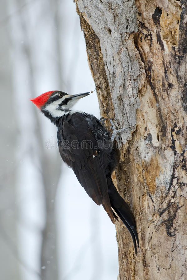 Pivert de Pileated photographie stock