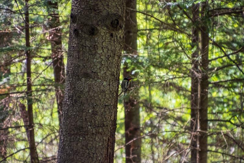 pivert Jaune-gonflé de Sapsucker été perché du côté d'un arbre à feuilles persistantes dans la forêt du Northwoods photo stock