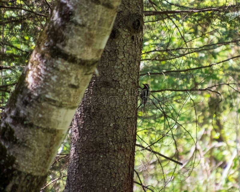 pivert Jaune-gonflé de Sapsucker été perché du côté d'un arbre à feuilles persistantes dans la forêt du Northwoods photographie stock