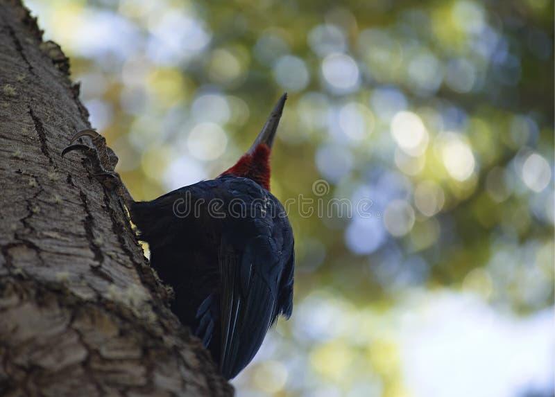 Pivert magellanic rouge photographié de dessous photos stock