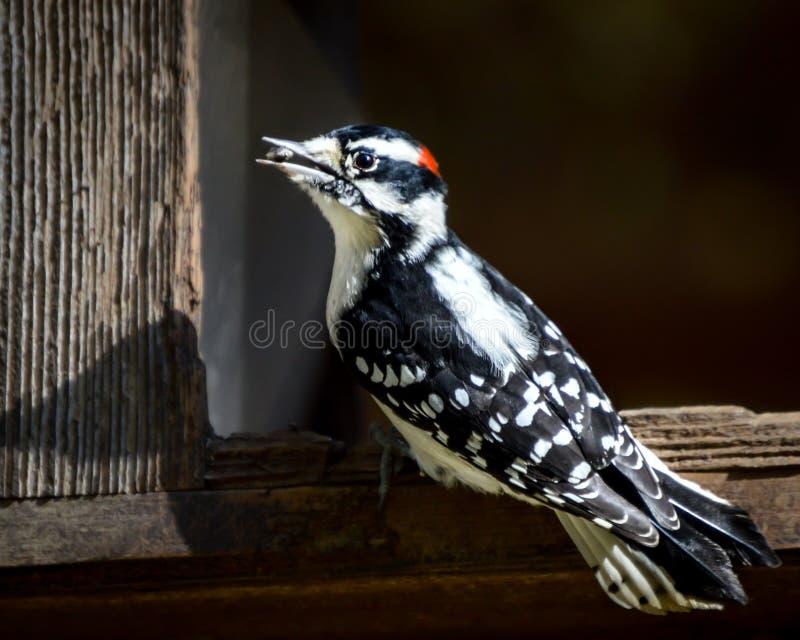 Pivert mangeant la graine pour les oiseaux de Birdfeeder photos libres de droits
