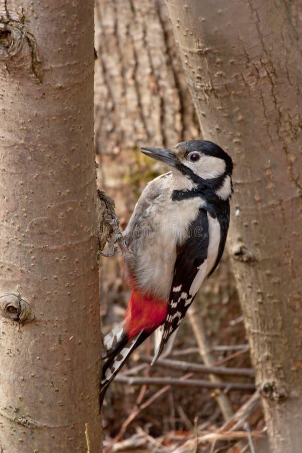Pivert sur l'arbre photo libre de droits
