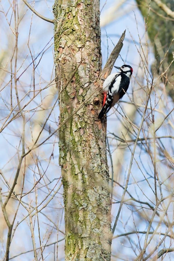 Pivert sur un arbre image stock
