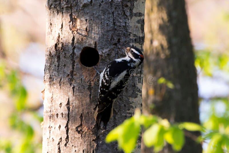 Pivert velu oriental masculin vu dans le profil vertical ronchonnant un tronc d'arbre ? c?t? de son nid photo stock