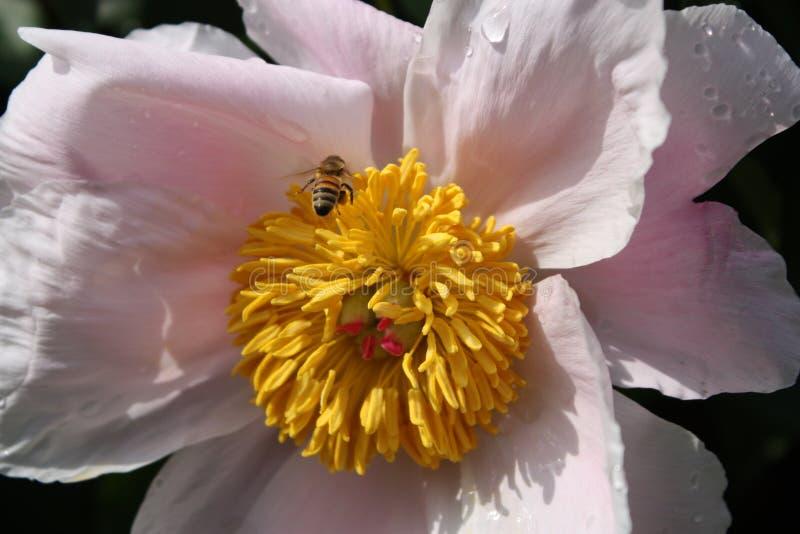 Pivoine avec l'abeille de miel photo stock