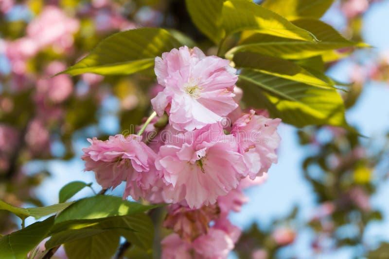 Pivoine chinoise rose d'arbre photos libres de droits
