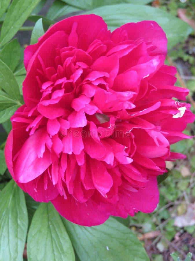Pivoine dans notre jardin images stock