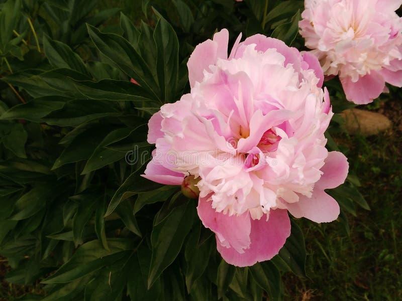 Pivoine deux de floraison photo stock