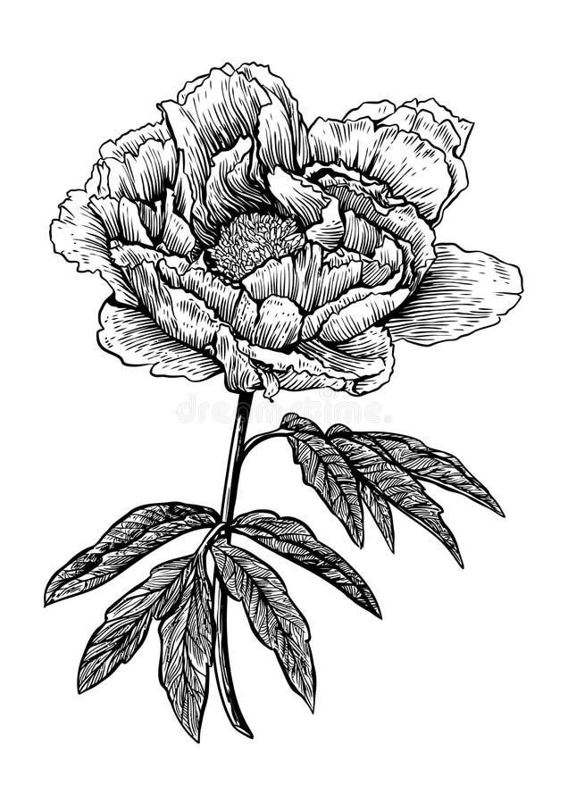 Pivoine Fleur Gravure Dessin Vecteur Illustration