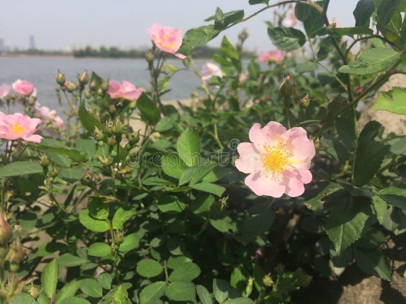 Pivoine herbacée chinoise photo stock