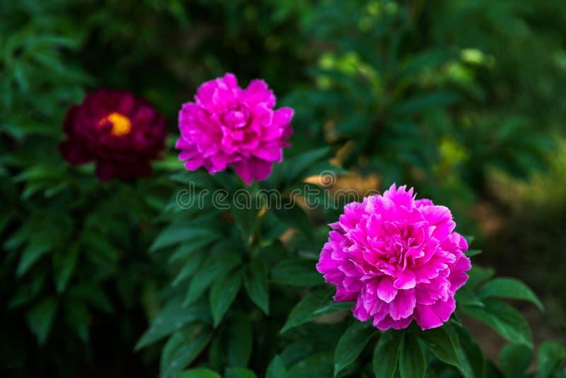 Pivoine herbacée chinoise de rose dans un jardin photos libres de droits