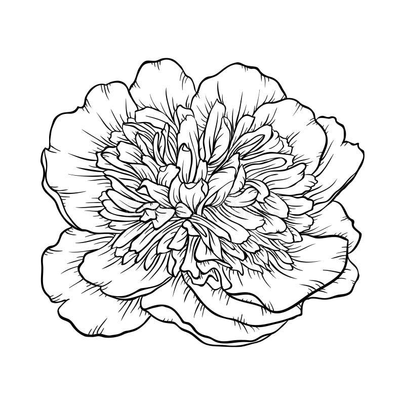 Pivoine noire et blanche d'isolement sur le fond illustration stock