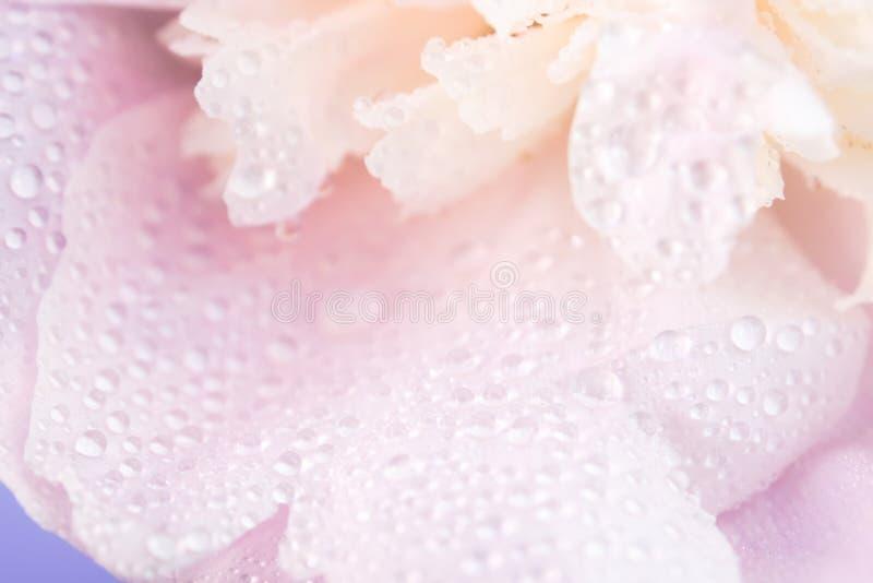 Pivoine rose couverte de rosée image libre de droits