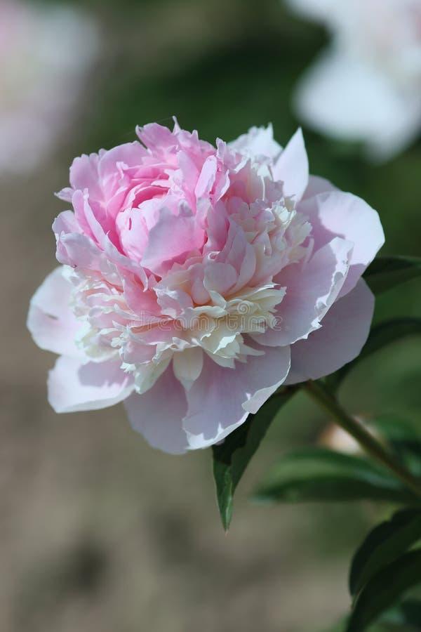 Pivoine rose de floraison Angel Cheek photo stock