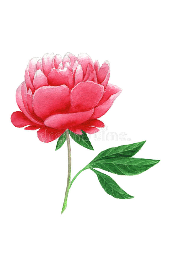 Pivoine rose pour aquarelle illustration stock